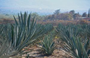 Promueve Gobierno de Oaxaca cultura del agave