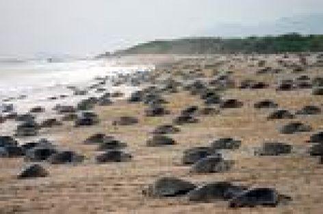 Detienen a los primeros saqueadores de huevos de tortuga