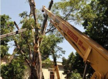 Continúan trabajos para salvar el laurel replantado en la Alameda de León
