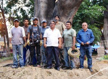 Caída del árbol culpa de ecología municipal, al desechar mantenimiento