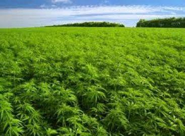 La más grande plantación de mariguana de la historia de México, localiza el Ejército