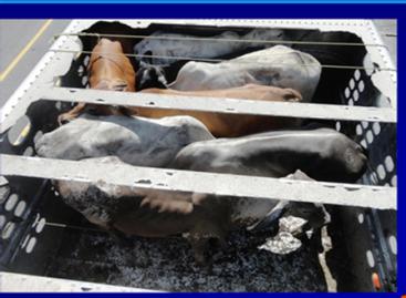 Ciento veinte kilos de coca ocultos en camión cargado de bueyes, detecta la PF