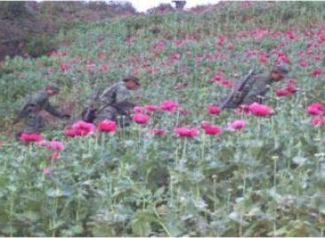 Localizan y destruyen 200 plantíos de Amapola, en Heliodoro Castillo, Guerrero