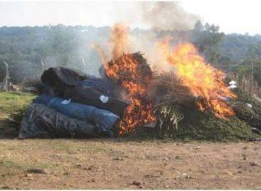 Aseguran 15 toneladas de mariguana en Mixtlán, Jalisco; es incinerada donde fue localizada