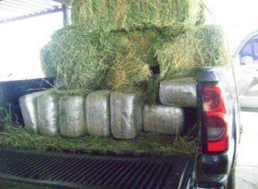 Ocultos en alfalfa más de 300 kilos de marihuana asegura la PF, en Sonora
