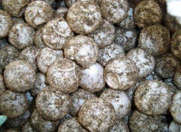 Detienen en Oaxaca a dos personas en posesión de más de 22 mil huevos de tortuga