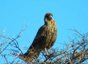En un hecho sin precedente, nace un ave caracara en el zoológico de Chapultepec