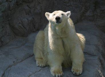 Muere ?Nanuka? en el zool?gico de Chapultepec, una de las osas polares m?s longevas en el mundo
