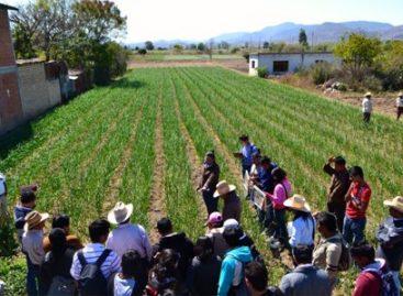 Impulsan suficiencia alimentaria mediante producción agrícola sustentable, en Oaxaca