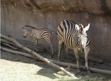 Nace una cría de cebra de grant en zoológico de San Juan de Aragón: Sedema