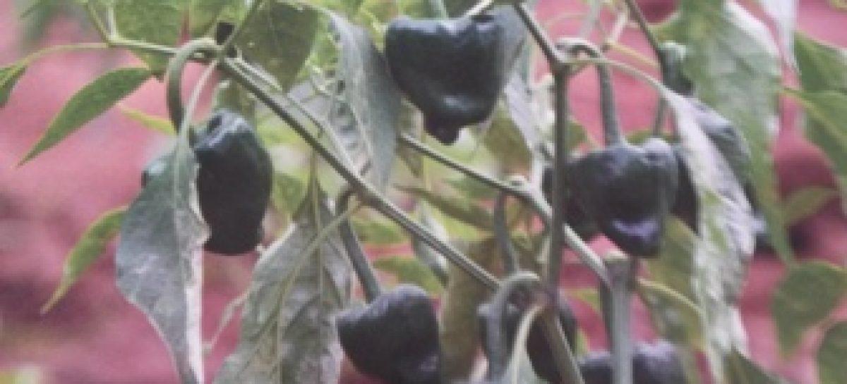 Impulsan rescate de chile chilhuacle, base del mole negro y otros platillos tradicionales