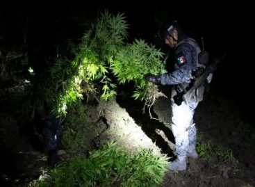 Localiza y destruye Policía Federal un plantío con 15 toneladas de marihuana en Michoacán