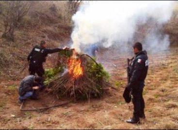 Policía Federal destruye plantío de marihuana en Sonora