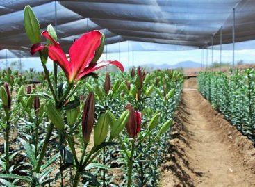 Realizan estudiantes de la UTVCO prácticas de floricultura; Siembran flores lilium y tulipanes