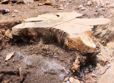 En Oaxaca, remplazan arbolado deteriorado, por especies endémicas en Calzada Porfirio Díaz