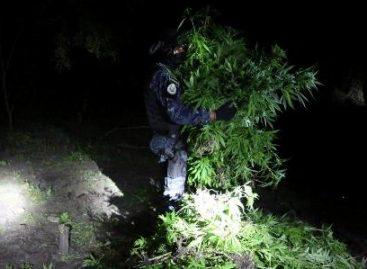 Destruyen dos plantíos de marihuana en Sola de Vega, Oaxaca; contaban con más de seis mil plantas