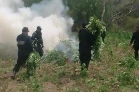 Destruye Policía Federal sembradío en Nayarit con más de 72 toneladas de enervante