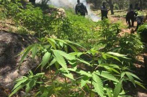 Destruye Policía Federal más de 73 toneladas de marihuana en Sonora