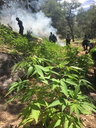 La marihuana estaba sembrada en 11 predios abiertos