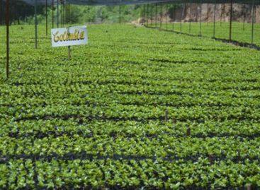 Genera cinco mil empleos directos cafeticultura en la Mixteca de Oaxaca