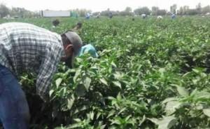 Trabajaban en campos agrícolas de Ramos Arizpe