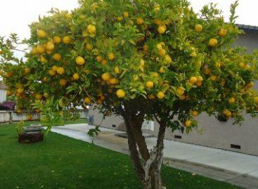 Proponen sembrar árboles frutales en áreas verdes; Beneficiaría a personas en situación de vulnerabilidad