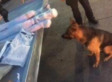 Detectan binomios caninos de la Policía Federal paquetes de heroína en aeropuerto de Guadalajara