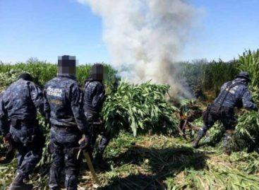 Destruye Policía Federal más de mil toneladas de marihuana oculta entre sembradíos de sorgo en Sonora