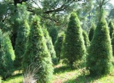 Advierten riesgo fitosanitario por venta de árboles de Navidad que incumplen regulaciones