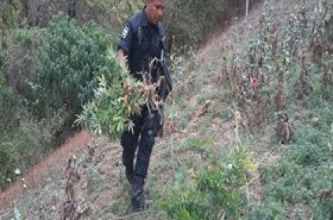 Destruyen plantío de cuatro mil 500 metros cuadrados de marihuana en Miahuatlán, Oaxaca
