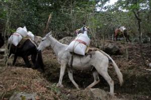 La recua queda conformada por 23 animales que distribuyen quincenalmente mil 500 kilogramos de granos básicos