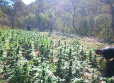 Erradican PF, PGR, Sedena y Policía de Nayarit cerca de 23 toneladas de marihuana; Sin detenidos