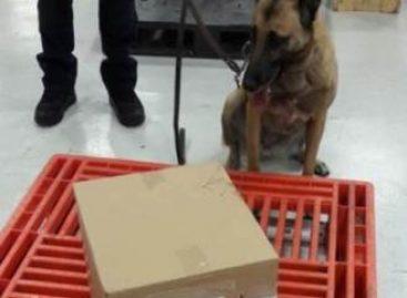 En el AICM, con apoyo del binomio canino Policía Federal intercepta al parecer droga sintética