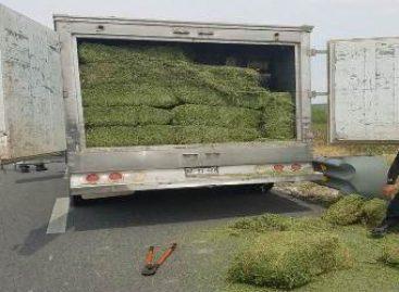 Aseguran más de dos toneladas de hierba con las características de la marihuana en Nuevo León