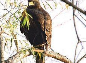 Decomisa Policía Federal águilas sujetas a protección especial, transportadas en la cajuela de un vehículo