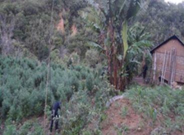 Localizan y destruyen plantío de marihuana en Tepuxtepec, Oaxaca