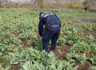 Destruye e incinera PGR-Oaxaca plantío de marihuana en Ejutla de Crespo, Oaxaca
