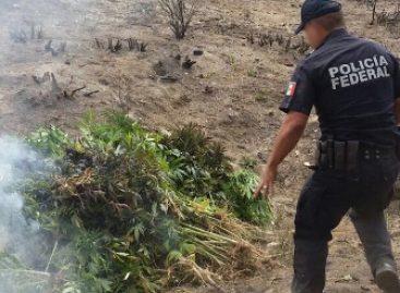 Destruyen e incineran más de una hectárea plantada de marihuana en la Sierra Sur de Oaxaca