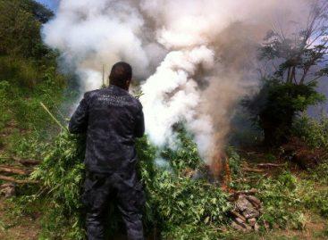 Destruyen plantío de 280 metros cuadrados de marihuana en Totolapan, Oaxaca