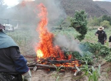 Destruyen plantío de cerca de tres mil metros cuadrados de marihuana en Totolapan, Oaxaca