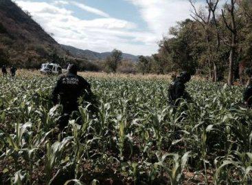 Destruyen plantío de más de cuatro toneladas de marihuana en Zoquitlán, Oaxaca