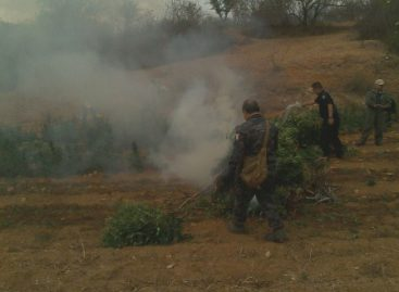 Destruye PGR Oaxaca cinco plantíos de marihuana en Lachigalla, Oaxaca
