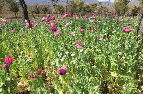 Destruye PGR 68 mil plantas de amapola en Tepuxtepec, Oaxaca
