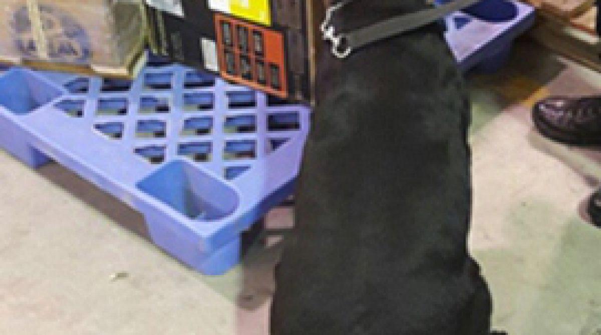 Con apoyo de binomios caninos, aseguran droga sintética oculta en equipos de sonido
