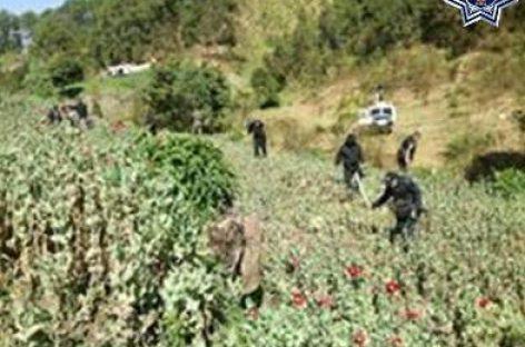 Destruyen más de seis mil metros cuadrados de plantaciones de amapola en la Sierra Sur