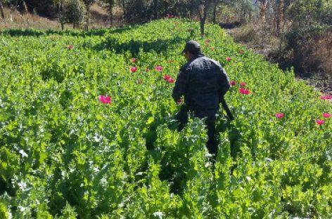 Destruyen policías estatales y federales de seguridad plantío de amapola en Textitlán, Oaxaca
