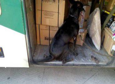 En Sinaloa, binomios caninos de la Policía Federal detectan droga en paquete de mensajería