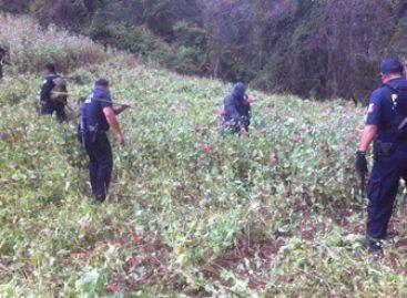 Destruyen fuerzas federales dos plantíos con más de 190 toneladas de amapola, en Oaxaca
