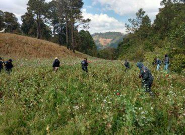 Destruye PGR Oaxaca plantío de amapola de casi 48 mil metros cuadrados