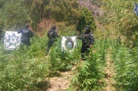 Destruyen plantío de marihuana en Valles Centrales de Oaxaca: SSPO